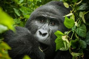 Uganda gorilla by Helena Van Eykeren