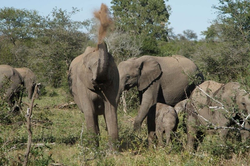 Umlani elephants Timbavati