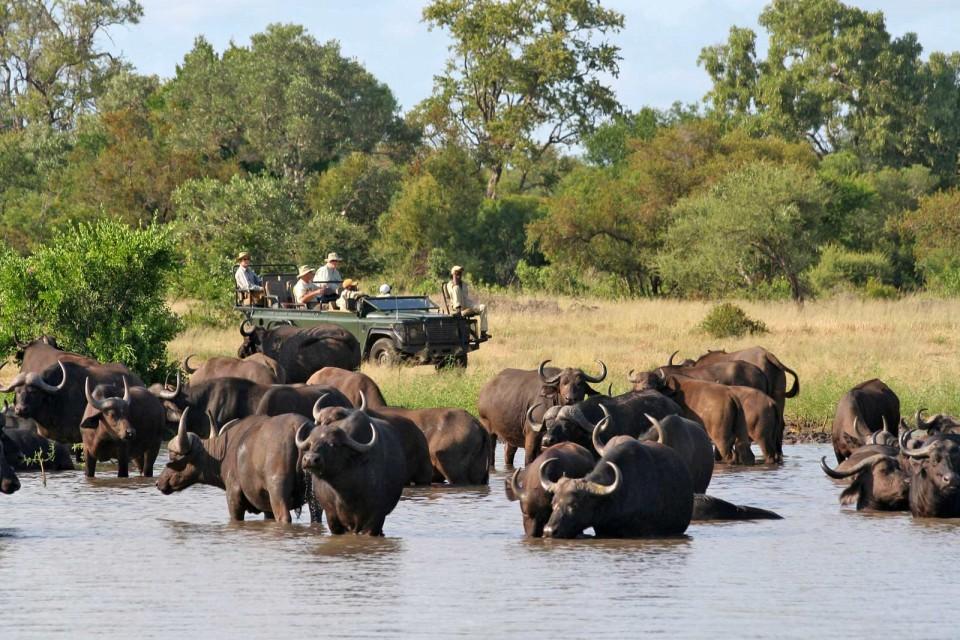 Timbavati buffalos