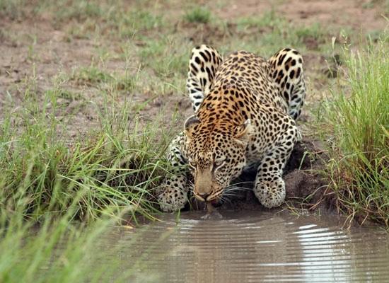 Timbavati leopard drinking