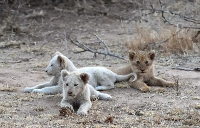 Timbavati lion cubs
