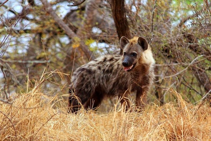 Timbavati spotted hyena