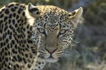 Timbavati leopard close