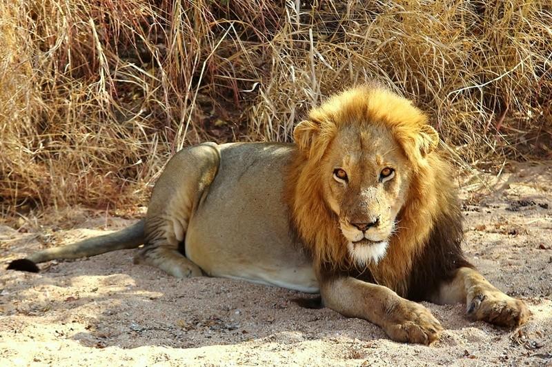 Timbavati lion