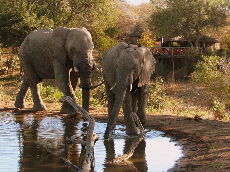 Umlani elephants drinking