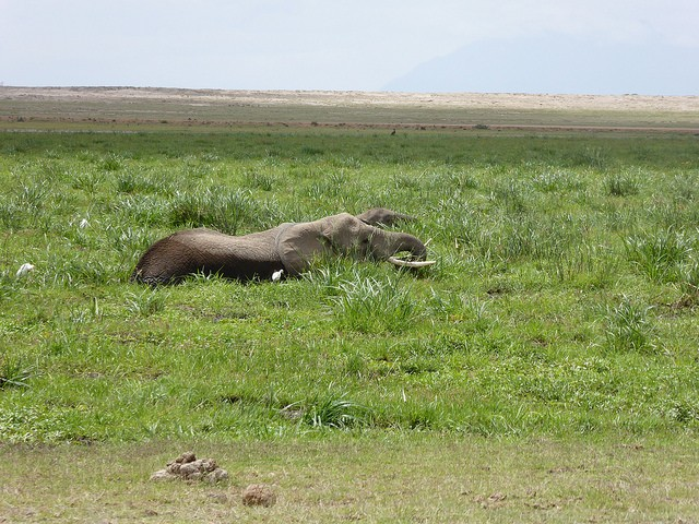 Wallowing elephant, Amboseli  by Regina Hart