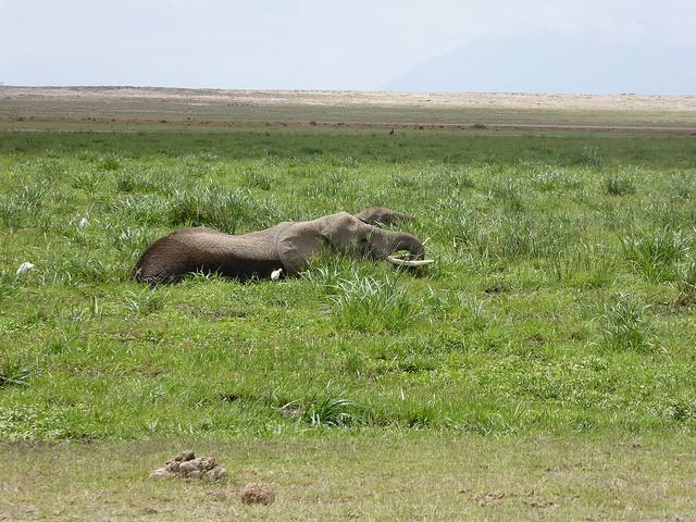 Wallowing elephant, Amboseli  by Regina Hart