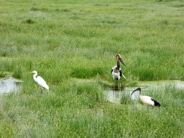 Great egret, juvenile saddle-billed stork, and sacred ibis, Amboseli  by Regina Hart