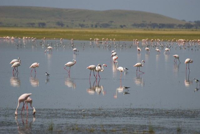 Flamingos in Amboseli National Park  by Paul Mannix