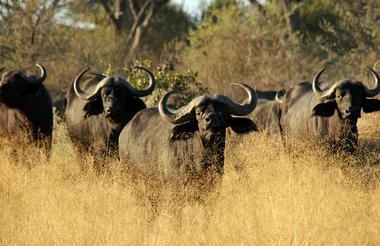 Buffalo Moremi Game Reserve