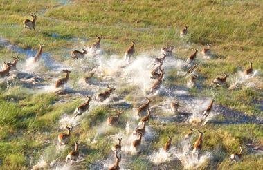 Buck, Okavango Delta