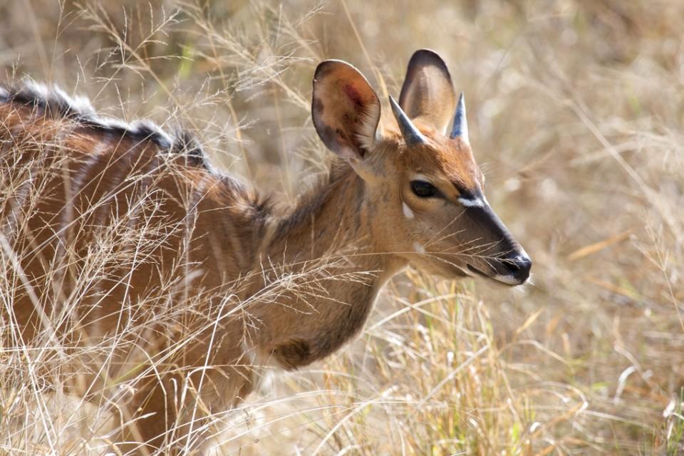 Kapama kudu  by I Love Trees