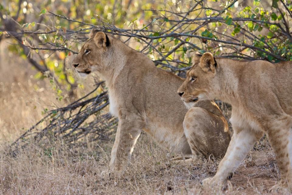 Kapama lions  by I Love Trees