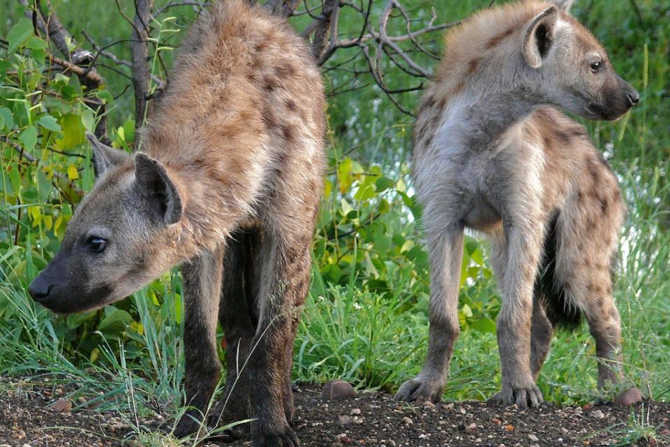 Hyena  by Bernard DUPONT