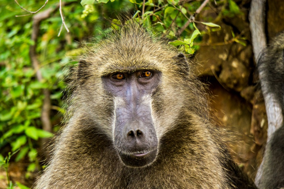 Kruger baboon  by Vaiz Ha