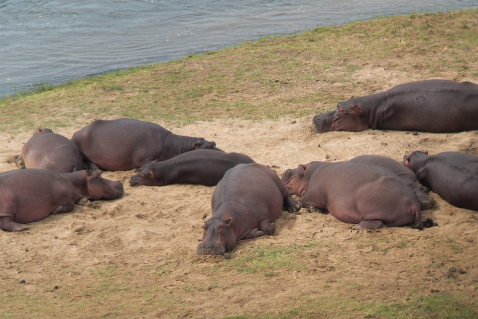 Kruger hippos  by Eric Gropp