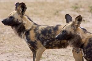 Kapama hyenas by I Love Trees