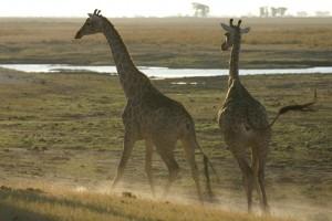 Two giraffe startled cnp