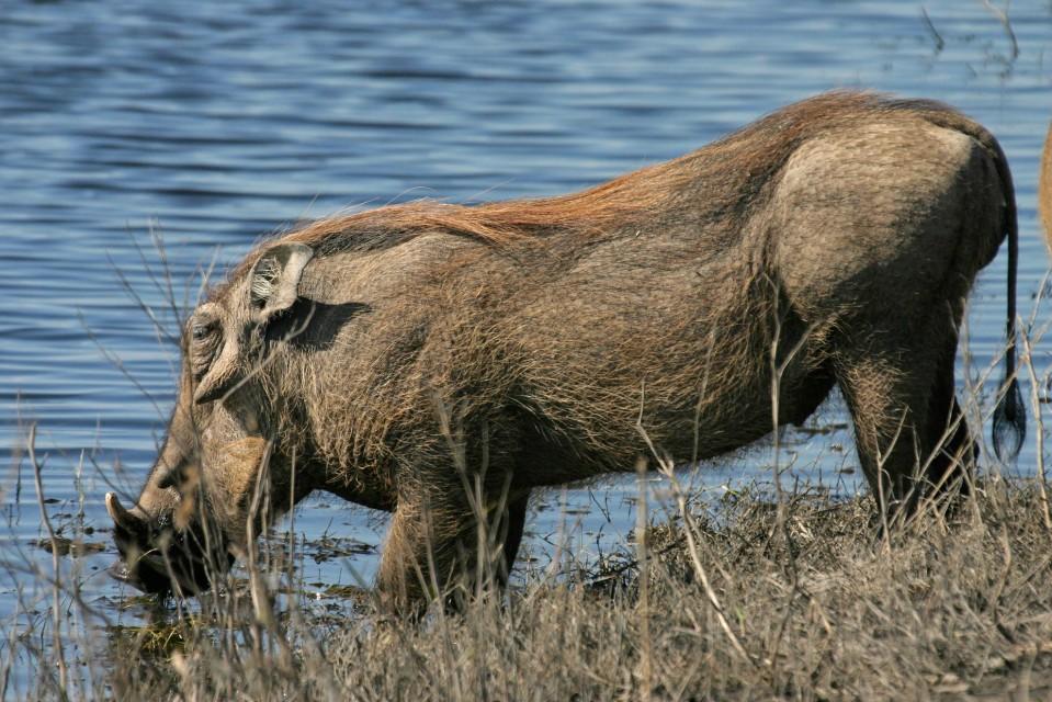 Warthog-drinking-cnp
