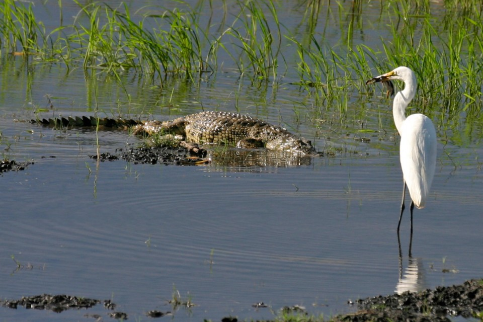 Chobe croc and egret