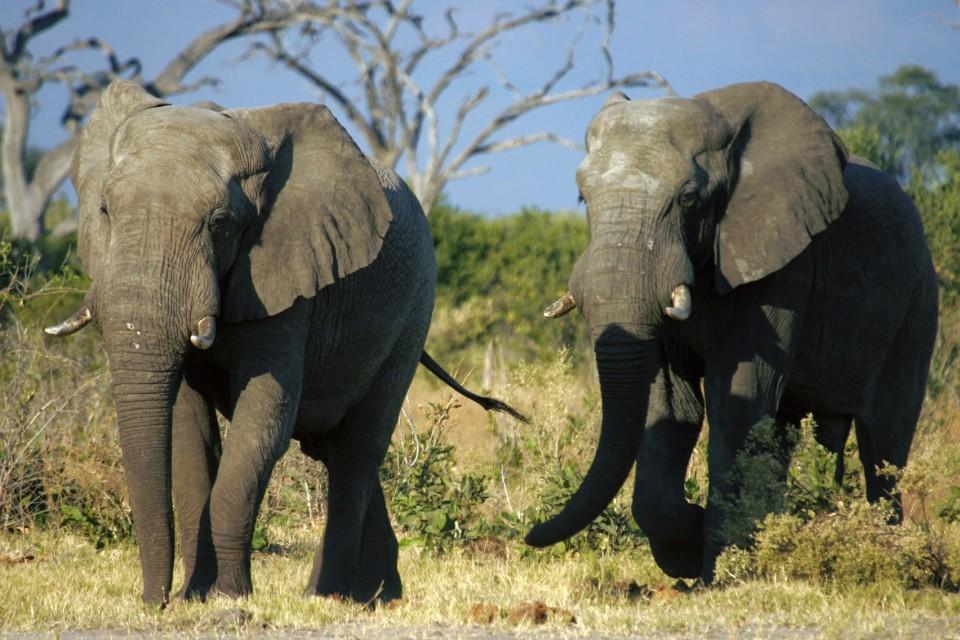 Savuti elephant bulls