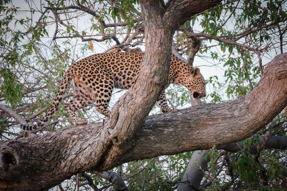 Moremi leopard  by  Michael Jansen