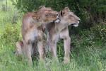 Khwai lions