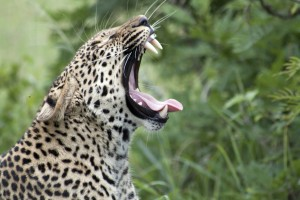 Sabi Sand leopard by flowcomm