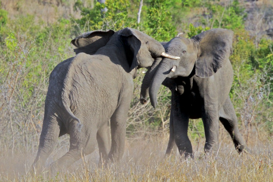Sabi Sands elephants  by s9-4pr