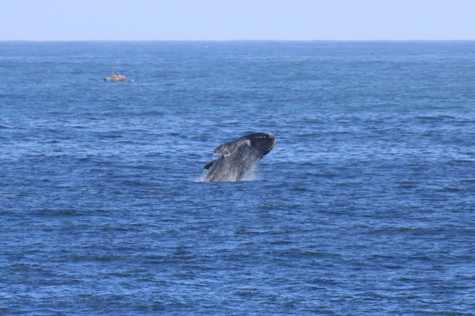 Hermanus whale  by Ross Huggett