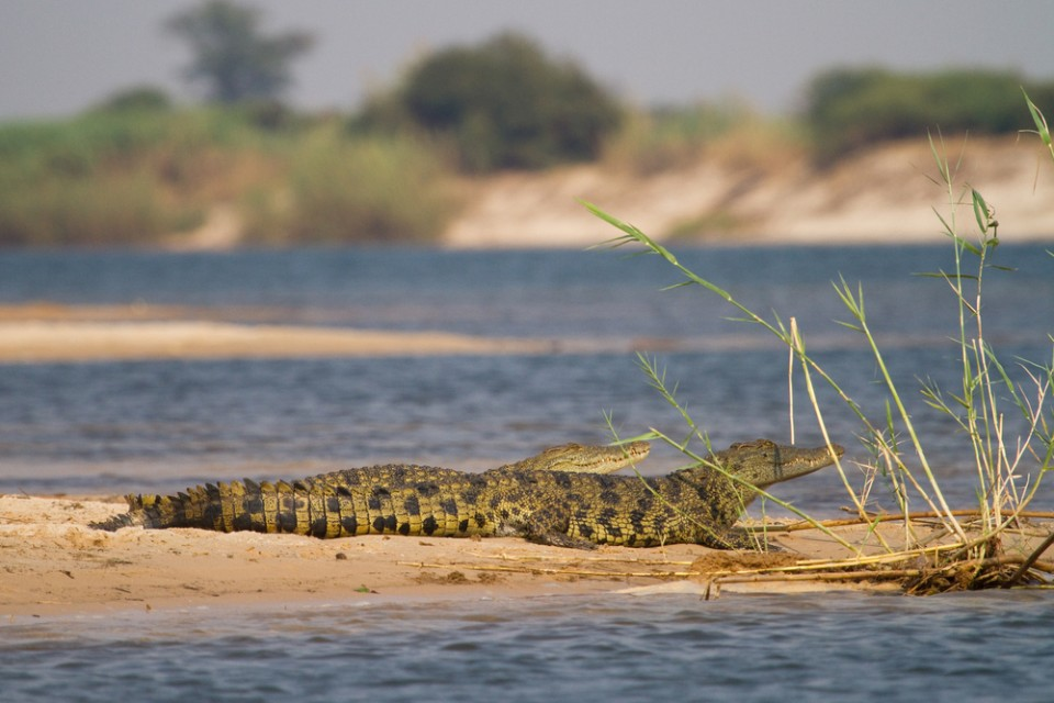 A pair of young crocs on the Zambezi River