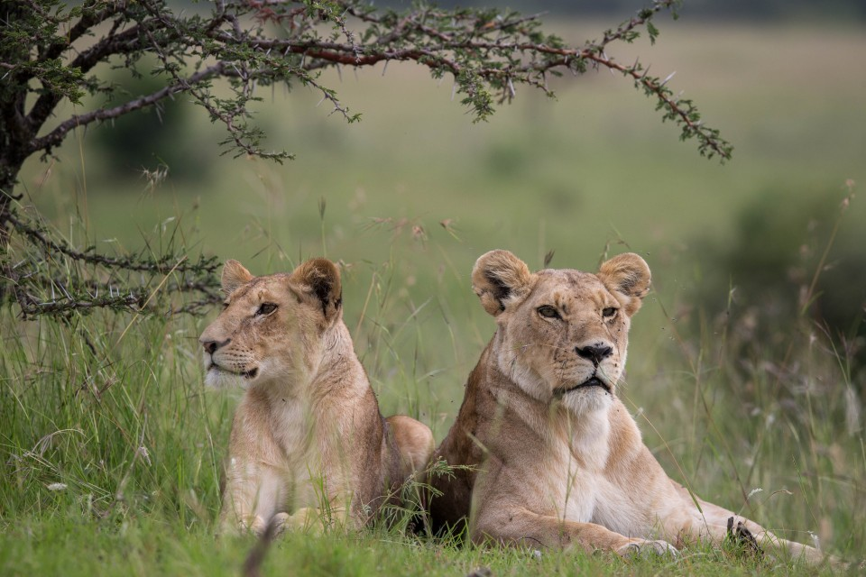 Mara lions  by Make it Kenya