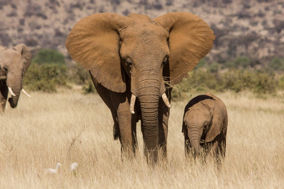 Samburu elephants  by U.S. Fish and Wildlife Service Headquarters