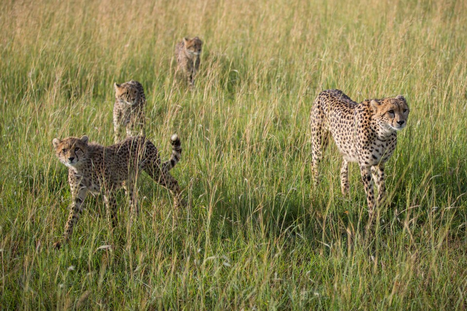 Mara cheetahs-2  by Make It Kenya