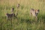 Mara cheetahs-2