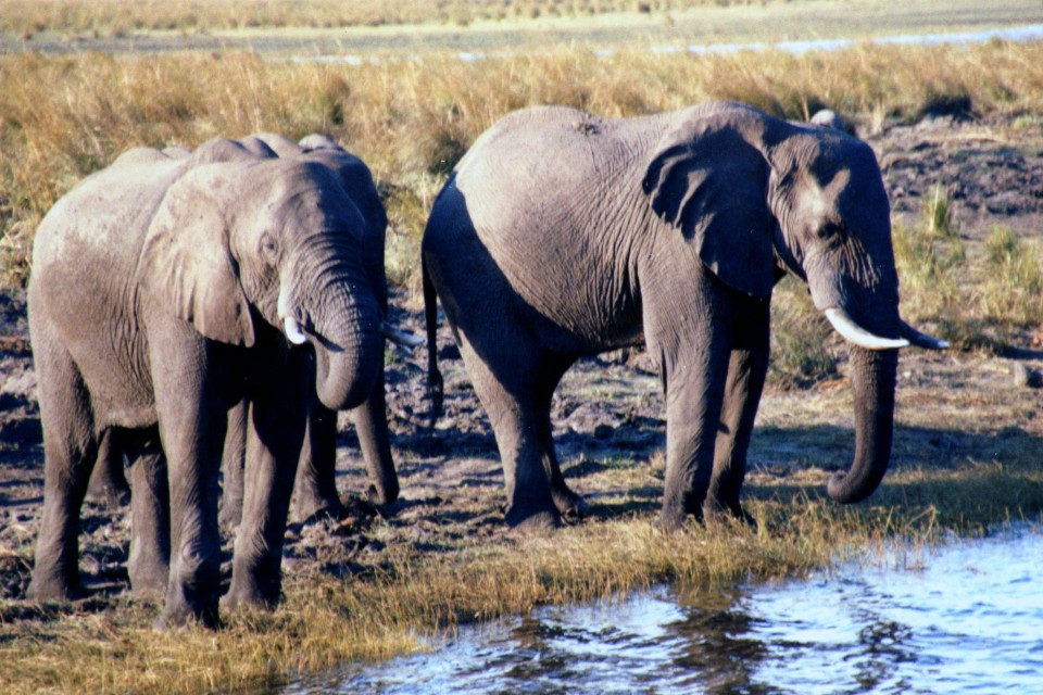 Chobe River elephants  by Kate
