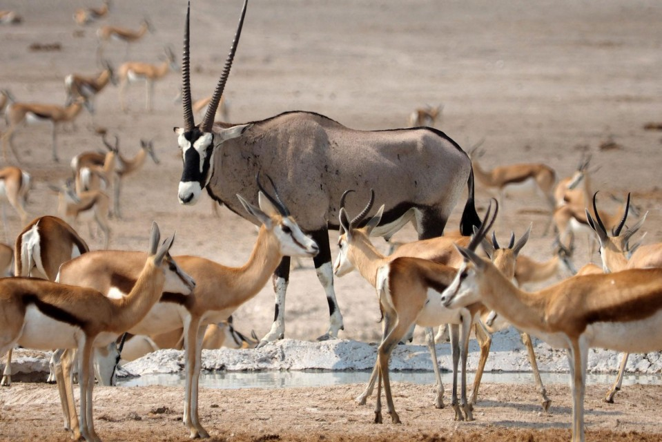 Gemsbok and springbok in Etosha  by simonsimages
