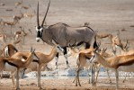 Gemsbok and springbok in Etosha