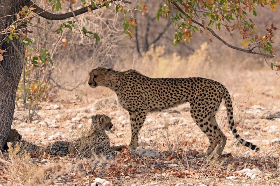 Etosha cheetahs  by simonsimages