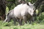 Matobos rhinos