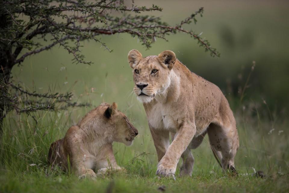 Masai Mara lions  by Make it Kenya
