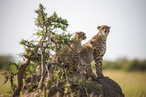 Mara cheetahs by Make it Kenya