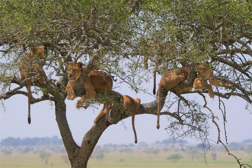 Serengeti lions in Tanzania  by Christoph Borer
