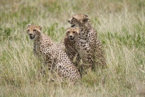 Serengeti cheetahs by Christoph Borer