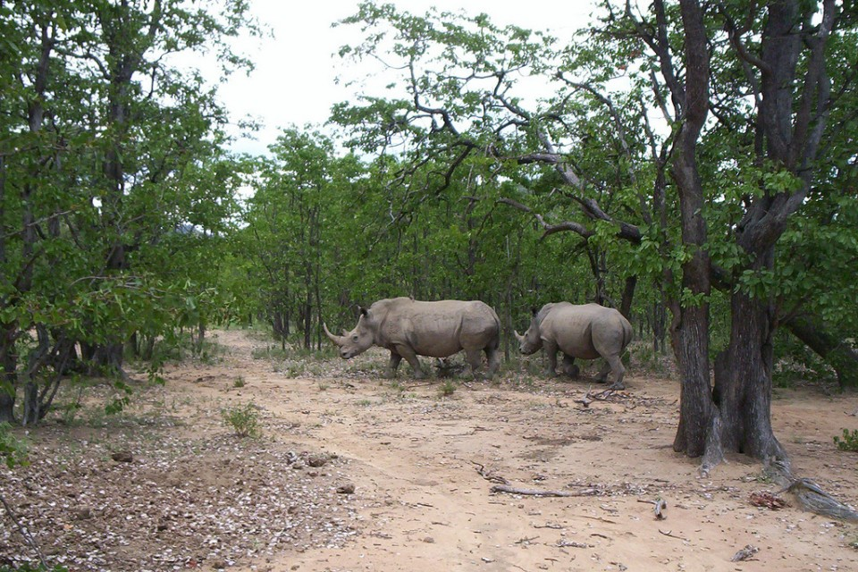 Matobo rhinos  by Katie Hunt