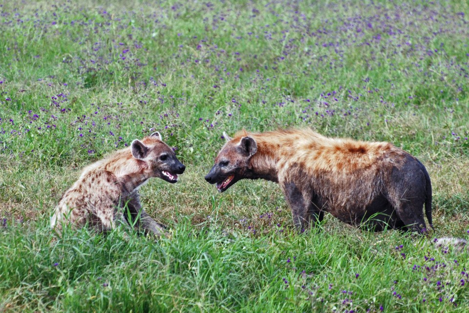 Ngorongoro Crater hyenas  by Harvey Barrison