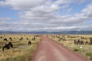 Ngorongoro wildebeest by Ian Cochrane