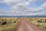 Ngorongoro wildebeest