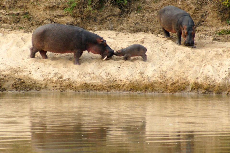 South Luangwa hippos  by fiverlocker