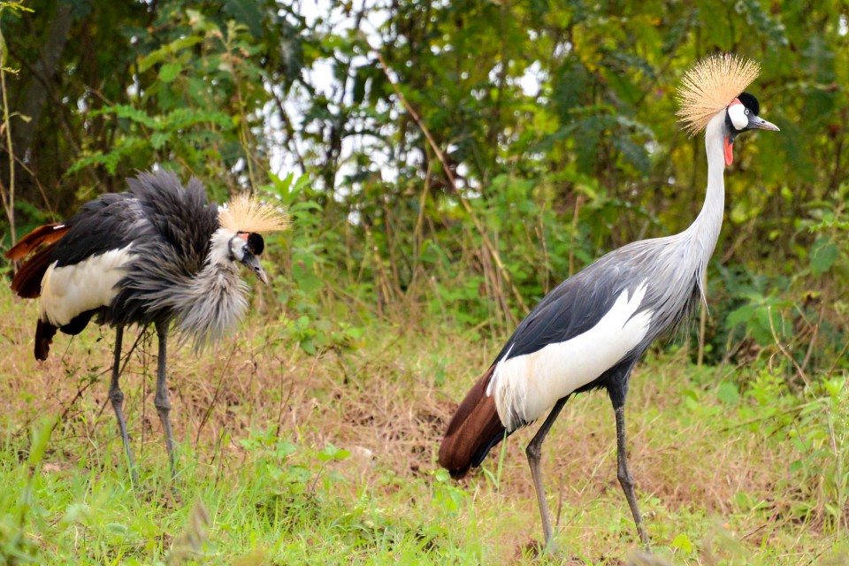 Crested Cranes, Bunyonyi  by Rod Waddington